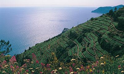 Blick auf Weinberge in Ligurien